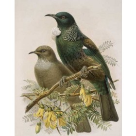 100% New Zealand Buller's Tui Wall Print Ready To Hang